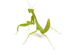 Praying mantis ,on white background.(selective focus)