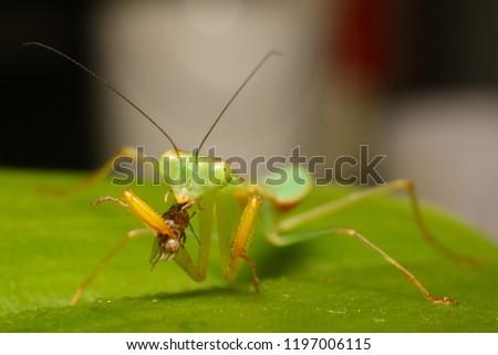 Praying mantis (Stagmomantis sp) eating it's prey, a small fruit flies (Drosophila melanogaster)