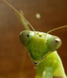 Praying mantis. Tenodera aridifolia