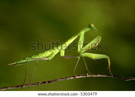 Praying Mantis waiting to strike against green background