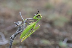 praying mantis while mating and eating