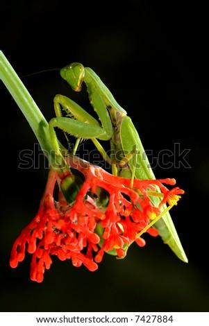 Bộ sưu tập Côn trùng - Page 5 Stock-photo-praying-mantis-with-red-flowers-background-mantis-religiosa-7427884