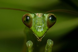Praying mantises are arthropod hunters and are found in temperate and tropical habitats. They have distinctive bulging eyes that contains over 10,000 ommatidia. They possess stereo vision.