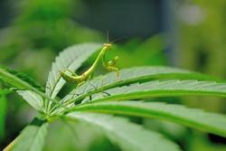 Praying mantises cannabis