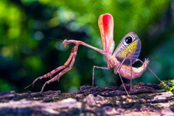 Pre-cupulatory Peacock Mantis. The praying mantis was standing on a mossy log. Thailand, Asia.
