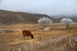 Pre-winter and frost-covered pastures. Mountain cows and horses continue to eat frozen grass
