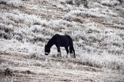 Pre-winter and frost-covered pastures. Mountain horse continue to eat frozen grass