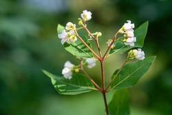 preading dogbane flowers, apocynum androsaemifolium