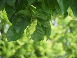 Precocious fruit of Kobushi magnolia in Japanese summer
