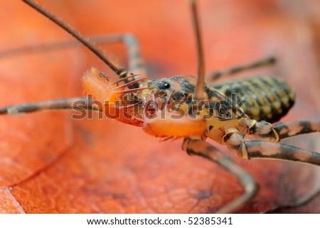 Predaceous arachnid Damon variegatus