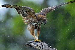 Predator bird on the tree. The changeable hawk-eagle or crested hawk-eagle (Nisaetus cirrhatus). Yala National Park. Sri Lanka.