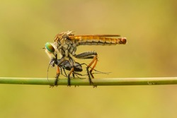 Predator is the right sentence to describe the ferocity of this Robber Fly, preying on other small insects when they fly and many are found in the meadows during the day
