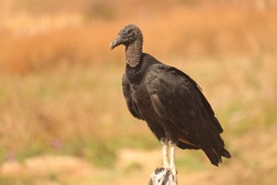 Predatory black bird, perched on a fence in the middle of dry vegetation.