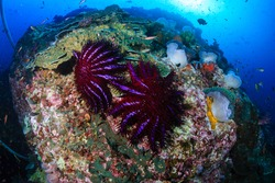 Predatory Crown of Thorns Starfish feeding on and damaging a tropical coral reef