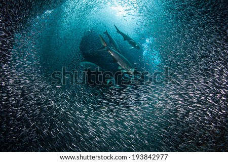 Predatory tarpon swim through a thick school of silversides as they swarm in a submerged cavern on the island of Grand Cayman Silversides are seasonal and serve as prey to many reef predators