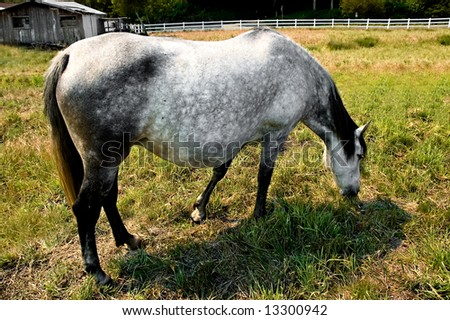Pregnant brood mare grazing peacefully in a pasture #13300942
