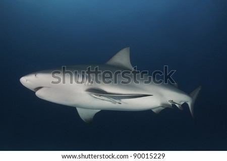 Pregnant bull shark cruising in dark blue water