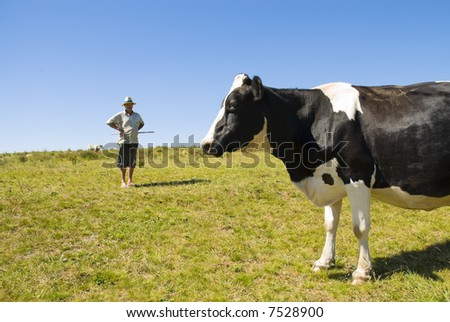Pregnant cow with dairy farmer in the background. Blue sky and green grass.