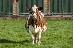 Pregnant cow with rope around snout standing with young, in a farmyard, front fully in view