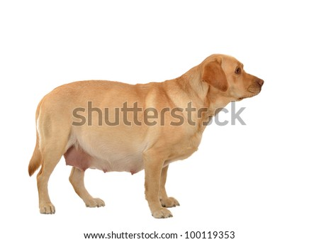 pregnant labrador retriever isolated on white