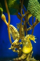 Pregnant male seahorses anchored themselves to some sea grass via their powerful tails. This is so they are able to withstand ocean currents.