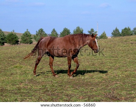 stock photo : Pregnant mare walking in the fall pasture