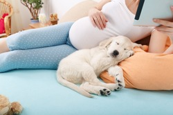 Pregnant woman reading tablet with golden retriever puppy at home