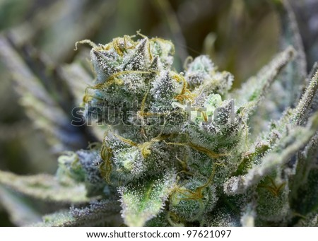 Premium marijuana bud with orange hairs and crystals
