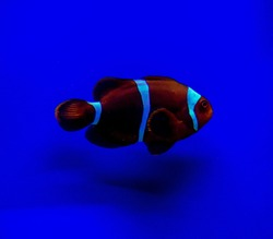 Premnas biaculeatus, commonly known asspine-cheeked anemonefishor themaroon clownfish