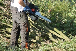 Preparing Hedge Laying Plashing with a Chain Saw.