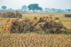 preparing paddy or rice after cutting in the field for selling in paddy market. paddy crop