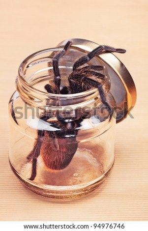 Preserved Poisonous Tarantula. The range of the Honduran Curlyhair tarantula (Brachypelma albopilosum) stretches along the Atlantic side of Honduras, Nicaragua and Costa Rica.