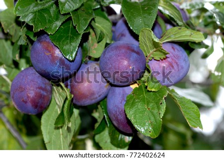 President Plums, European plums grown in N.S.W. Australia, nice to eat when ripe and used for jams. Foto stock ©