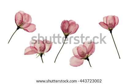 Pressed and dried buds flower of apple. Isolated on white background. For use in scrapbooking, floristry (oshibana) or herbarium. #443723002