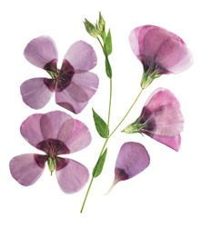Pressed and dried delicate purple flower flax, isolated on white background. For use in scrapbooking, pressed floristry or herbarium.