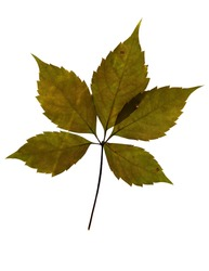 Pressed and dried leaf of Virginia creeper (Parthenocissus Quinquefolia) on white background for use in scrapbooking, floristry (oshibana) or herbarium.