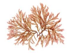 Pressed beautiful red rhodophyta seaweed