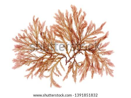 Pressed beautiful red rhodophyta seaweed  Сток-фото ©