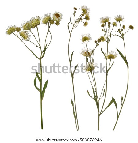 Pressed Dried branch of chamomile drug. Herbarium of wild flowers.  #503076946