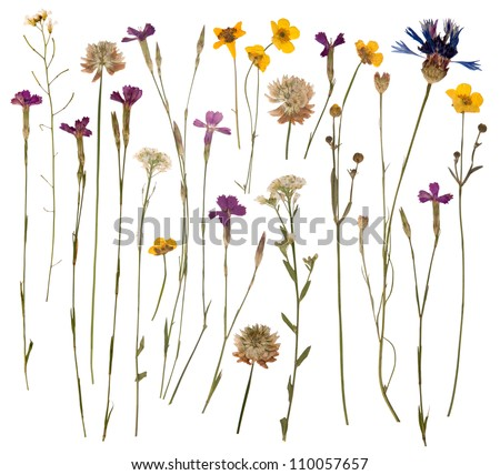 Pressed wild flowers isolated on white background #110057657