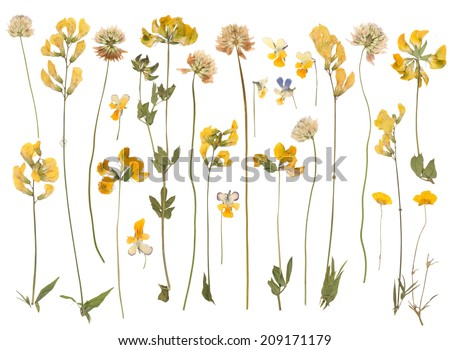 Pressed wild flowers isolated on white background  #209171179