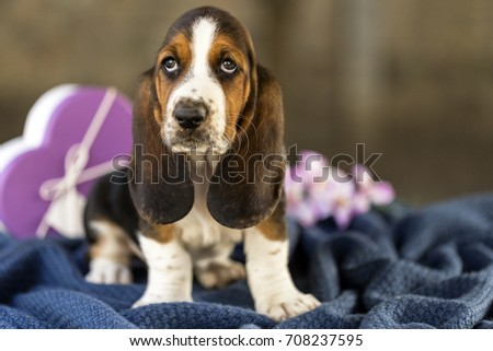 Pretty and gently Basset hound puppy, which is an old three week. A beautiful baseball hound is sitting in a knitted basket. #708237595
