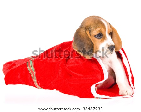 Pretty Beagle puppy in red santa gift bag, on white background