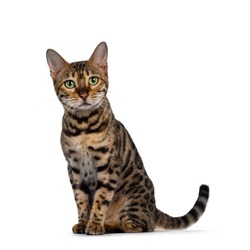 Pretty Bengal cat sitting side ways facing front. Looking straight to camera with green eyes. Isolated on white background.