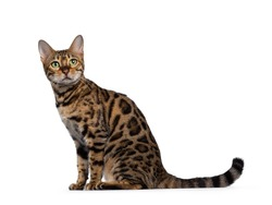 Pretty Bengal cat sitting side ways. Looking above camera with green eyes. Isolated on white background.