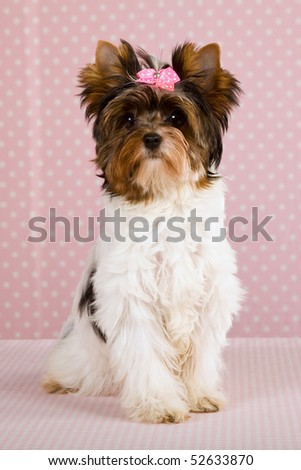 Pretty Biewer puppy on pink background fabric