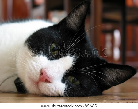 black and white cat pictures. lack and white cat. lack and