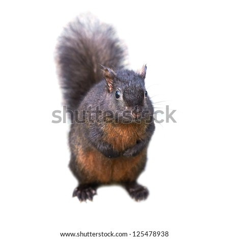Pretty black squirrel isolated on white background