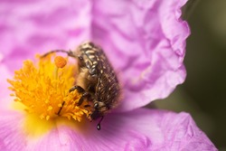 Pretty black white dotted beetle Oxythyrea funesta on a beautiful gray leaved cistus Cistus albidus flower with red petals and yellow stamens.