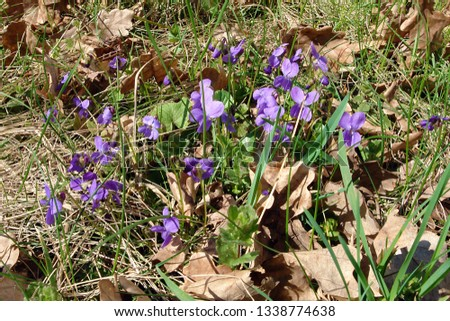 Pretty blomming sweet violet or wood violet (Viola odorata) #1338774638